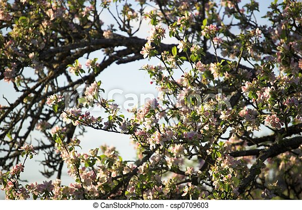 Apple Tree in Bloom - csp0709603