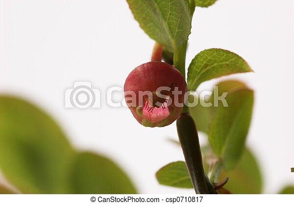 Blueberry Flower - csp0710817