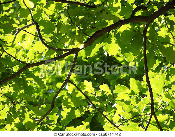 sunlit oak leaves - csp0711742