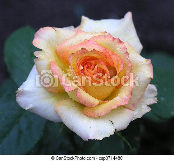 Rising sun rose - csp0714480