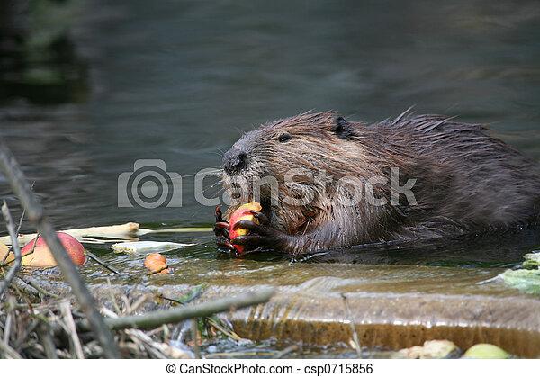 Beaver - csp0715856