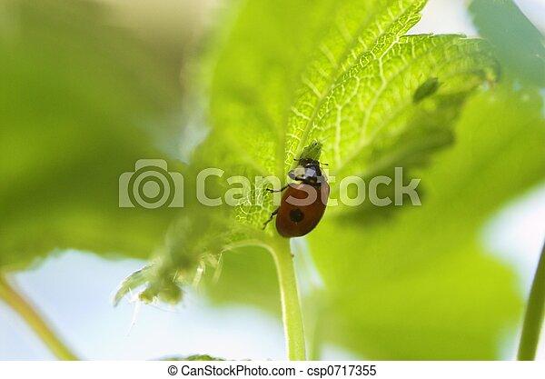 Ladybird Eating Aphid - csp0717355