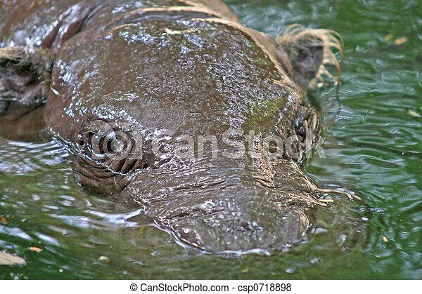 Submerged hippo - csp0718898