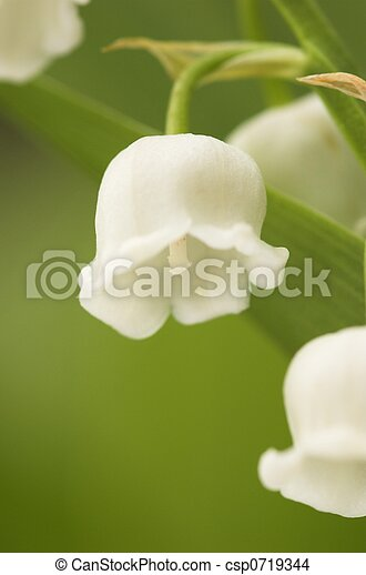 Lilly-of-the-Valley - csp0719344