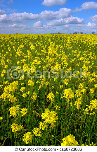 Mustard Flowers, White Clouds - csp0723686