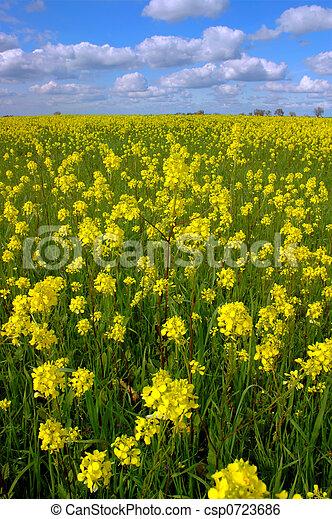 Mustard Flowers, White Clouds - csp0723686