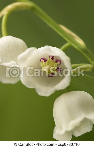 Lilly-of-the-Valley Macro - csp0730710