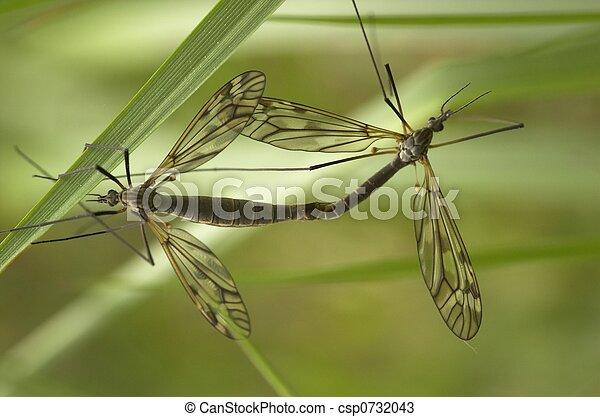 Mating Craneflies - csp0732043
