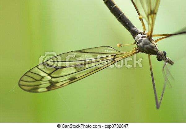 Cranefly (male) - csp0732047