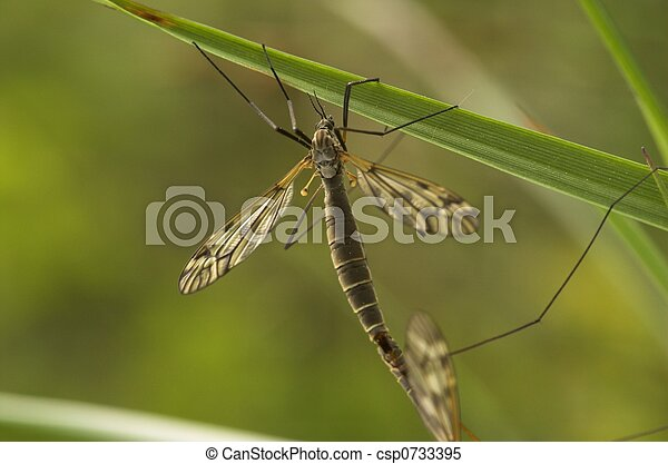 Mating Female Cranefly - csp0733395