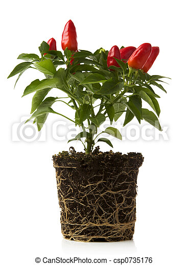 red pepper plant - csp0735176
