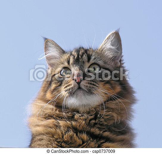 Nowegian wood cat