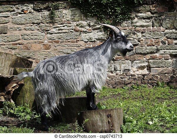 Billy Goat - csp0743713