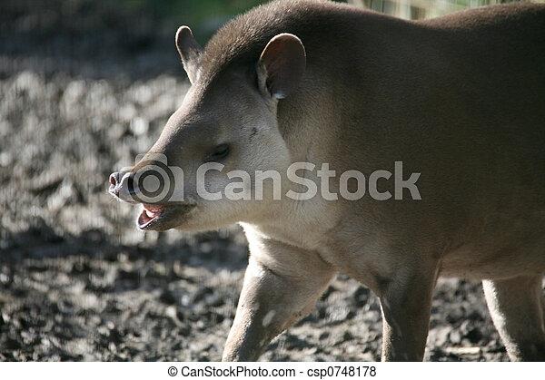 Tapir, brasiliansk - csp0748178