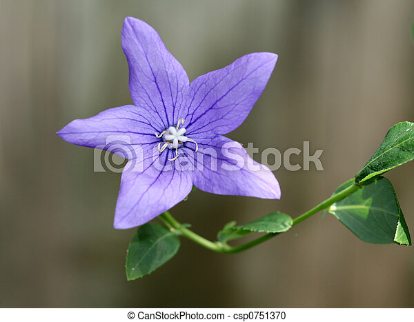 stock photography of purple star flower in a bed in the garden, Beautiful flower