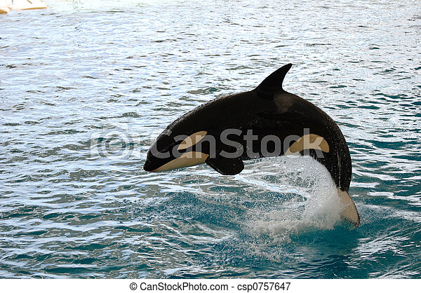Killer whale jumping - csp0757647