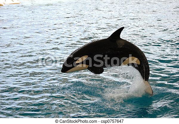 Killer whale jumping - csp0757647