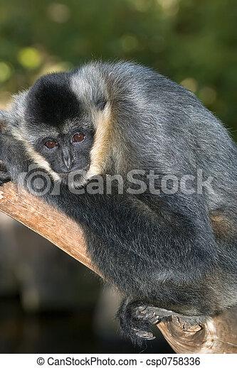 white handed gibbon  - csp0758336