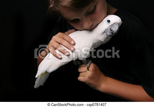 Moluccan Cockatoo With a Young Adult  - csp0781407