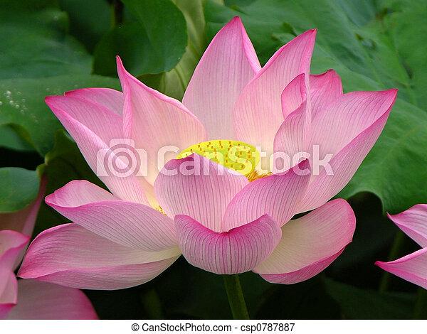 Pink Lotus Hangzhou China - csp0787887