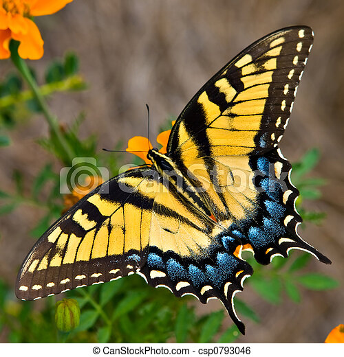 Tiger Swallowtail Butterfly - csp0793046