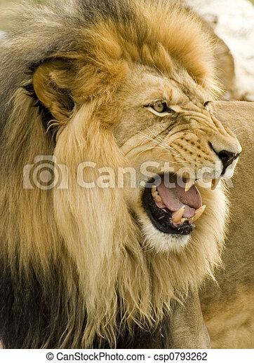 roaring lion close-up - csp0793262