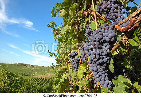 Grapes - csp0794105