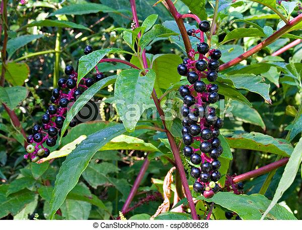 plaatjes van pokeweed giftig pokeweed plant met zijn paarse csp0806628 zoek naar. Black Bedroom Furniture Sets. Home Design Ideas