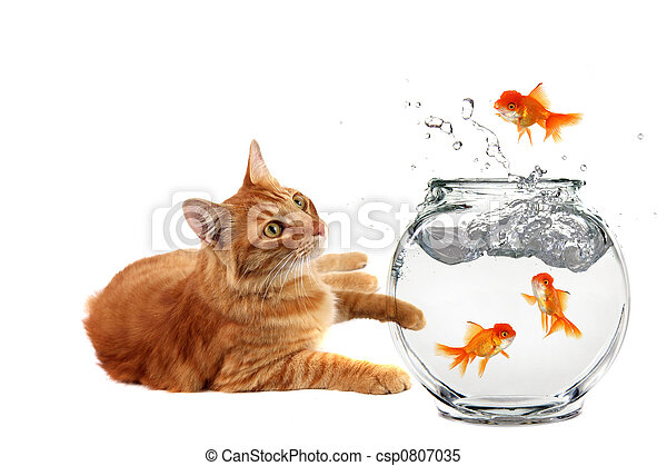 Cat Relaxing and Watching a Gold Fish Escape His Bowl - csp0807035