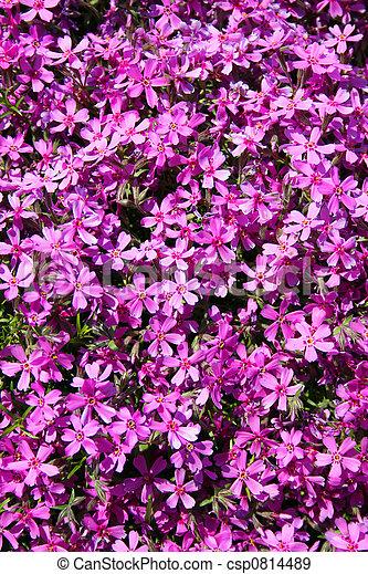 Phlox Flowers dazzle - csp0814489