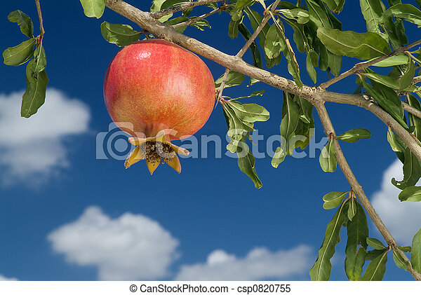 pomegranate on branch - csp0820755