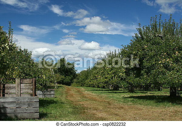 Apple Orchard - csp0822232