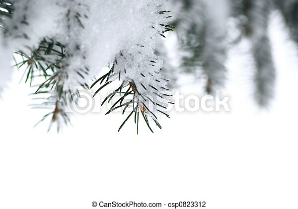 Spruce branches with snow - csp0823312
