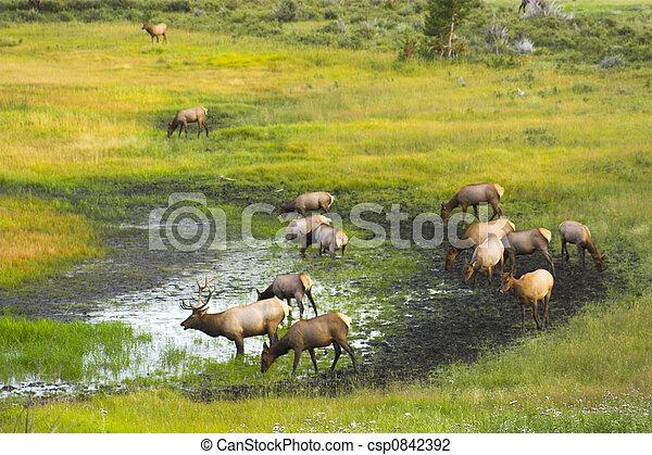 Stock Photo of Wild Elk - Elk in the Cordeliers mountains prairies ...