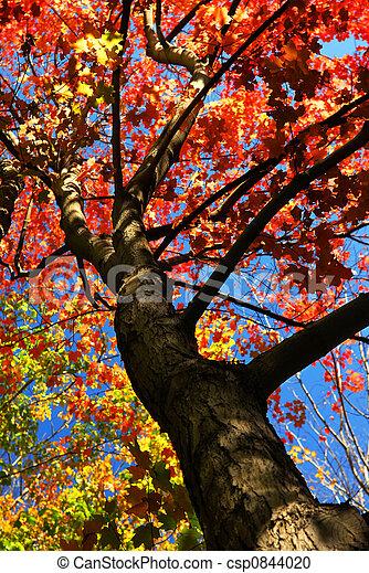 秋天, 樹, 楓樹 - csp0844020