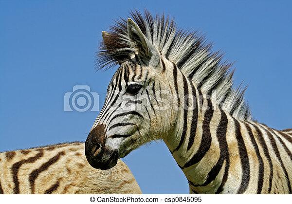 Plains Zebra portrait - csp0845095