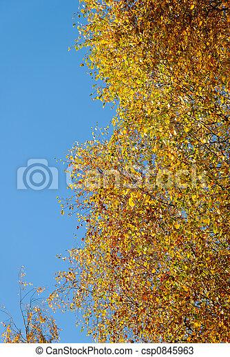 Birch in Golden Blae   - csp0845963