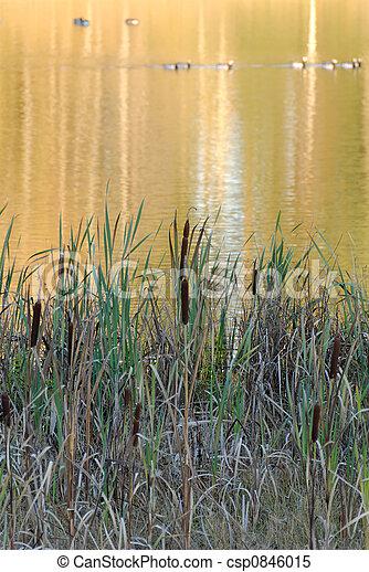 Reeds and Golden Reflecti - csp0846015