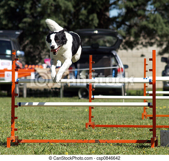 Sheep Dog Jumping - csp0846642