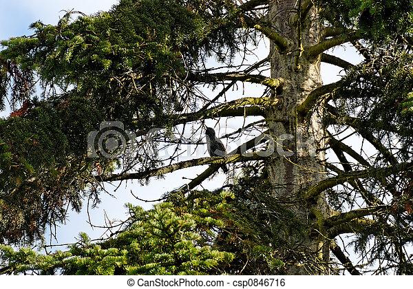 Starling in a Fir Tree - csp0846716