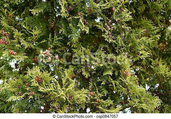 Evergreen Texture - csp0847057