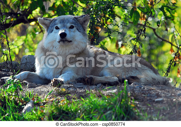 Gray wolf (Canis lupus) - csp0850774