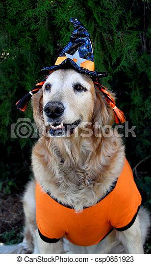 Photos de halloween chien d guisement dor chien habill dans csp0851923 recherchez - Deguisement halloween chien ...