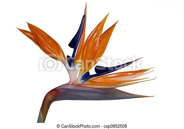 Bird of Paradise - csp0852508