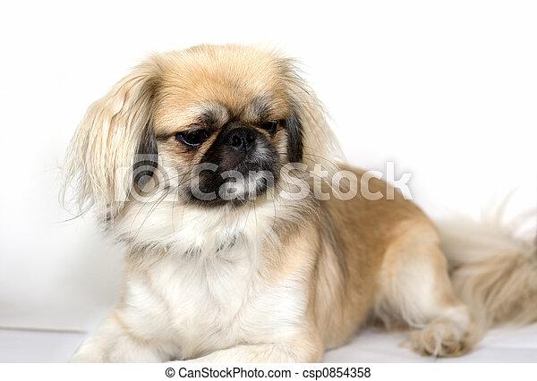 Purebred Pekingese Dog - csp0854358