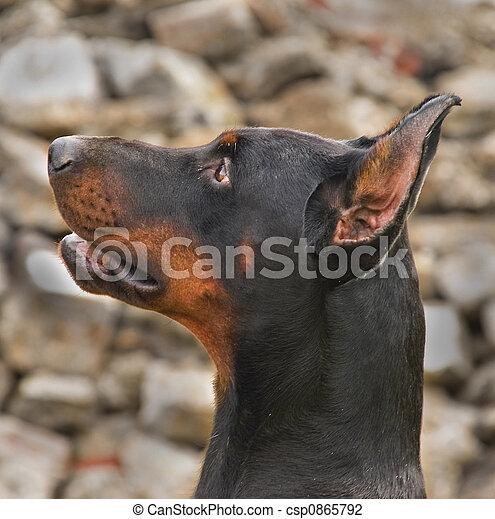 Dog - csp0865792