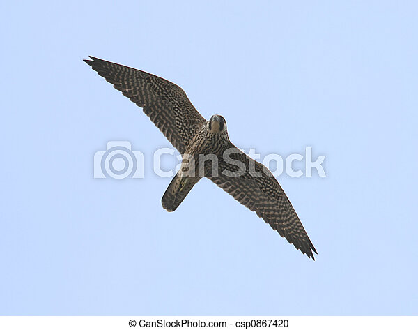 Peregrine Falcon - csp0867420
