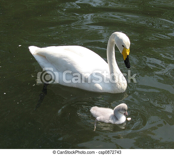 swan and offspring - csp0872743