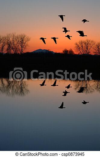 Evening Geese - csp0873945