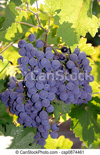 Red Wine Grapes - csp0874461